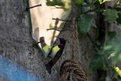 Zoemende vogel zich bekijken/Zoemende vogel die verward kijken Royalty-vrije Stock Foto's