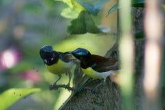 Zoemende vogel zich bekijken/Zoemende vogel die verward kijken Stock Foto