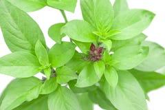 Zoet Basil Herb Growing in een organische tuin Thais Basilicumblad O stock afbeeldingen