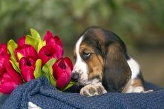 Zoet Basset hondenpuppy met droevige ogen die in een mand op Th zitten royalty-vrije stock fotografie