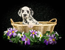 Zoet Dalmation-Puppy Royalty-vrije Stock Afbeelding