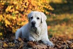 Zoet geel Labrador in het park in de herfst royalty-vrije stock fotografie
