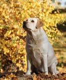 Zoet geel Labrador in het park in de herfst stock afbeeldingen