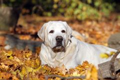 Zoet geel Labrador in het park in de herfst royalty-vrije stock foto