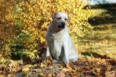 Zoet geel Labrador in het park in de herfst stock foto