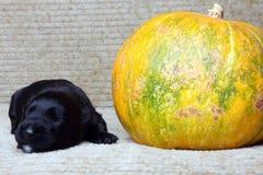 Zoet klein zwart Schots Terrier-puppy Stock Afbeeldingen