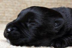Zoet klein zwart Schots Terrier-puppy Stock Foto's