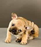 Zoet krassend puppy Stock Afbeeldingen