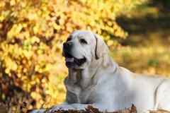 Zoet leuk geel Labrador in het park in de herfst royalty-vrije stock fotografie