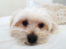Zoet Morkie-Puppy die direct de camera bekijken stock afbeeldingen