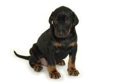 Zoet puppy stock afbeeldingen