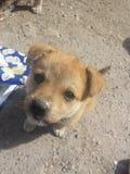 Zoet Puppy royalty-vrije stock foto
