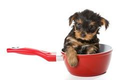 Zoet Puppy Yorkshire Terrier in een rode pot Royalty-vrije Stock Foto