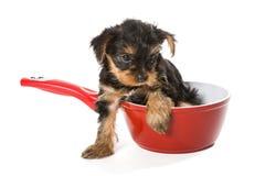 Zoet Puppy Yorkshire Terrier in een rode pot Royalty-vrije Stock Fotografie
