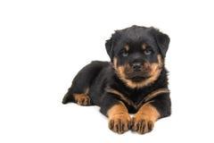 Zoet Rottweiler-puppy Royalty-vrije Stock Afbeeldingen
