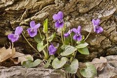 Zoet viooltje Royalty-vrije Stock Fotografie