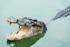 Zoet water volwassen krokodil van Thailand Royalty-vrije Stock Afbeelding