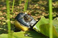 Zoet waterschildpad stock foto's