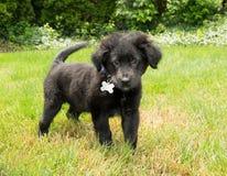 Zoet Zwart Puppy Stock Foto's