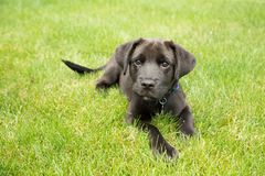 Zoet Zwart Puppy Stock Foto