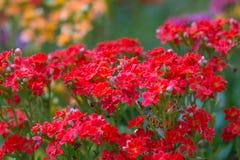 Zoete Alyssum (Lobularia-maritima). Royalty-vrije Stock Foto's