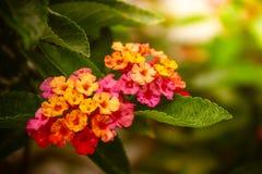 Zoete bloem Royalty-vrije Stock Afbeelding