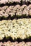 Zoete chrysantenbloemen. Stock Fotografie