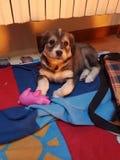 Zoete cucciolo van de hondpapaver Royalty-vrije Stock Afbeeldingen