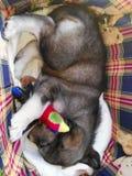 Zoete cucciolo van de hondpapaver Stock Afbeelding