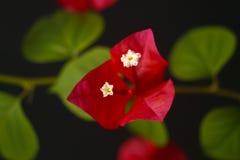 Zoete de lentebloem Stock Afbeelding