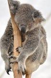 Zoete dromende koala. stock afbeeldingen