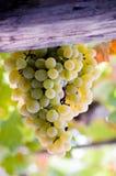Zoete druif van zibibbo Stock Afbeeldingen
