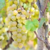 Zoete en smakelijke witte druif Stock Afbeelding