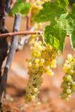 Zoete en smakelijke witte druivenbos, van de wijngaard in Manduria in een de zomer zonnige dag, Salento, Italië royalty-vrije stock foto