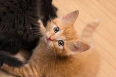 Zoete gember en zwarte pot Binnenlandse oude katten 8 weken Catus van Felissilvestris royalty-vrije stock foto's
