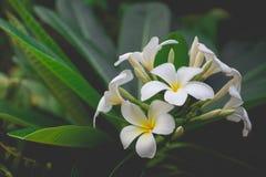 Zoete geur van witte Plumeria-bloem Royalty-vrije Stock Foto's