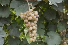 Zoete groene druiven Royalty-vrije Stock Foto's