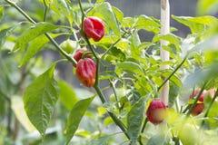 Zoete groene paprika op boom Stock Fotografie