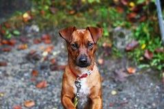Zoete hond die vooruit eruit zien stock fotografie