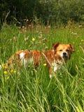 Zoete hond in het gras Stock Afbeelding