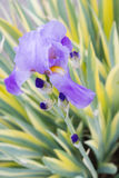 Zoete Iris Stock Fotografie