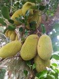 Zoete jackfruit van sri lankan natuurlijke foto Royalty-vrije Stock Fotografie