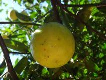 Zoete Kalk - Fruit Stock Afbeelding