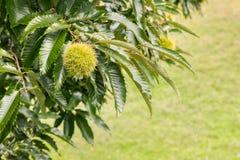 Zoete kastanje in schil het groeien op kastanjeboom met exemplaarruimte Stock Afbeelding