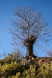 Zoete kastanjeboom in de winter royalty-vrije stock fotografie