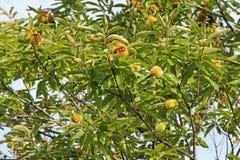 Zoete kastanjeboom met vruchten Stock Afbeeldingen