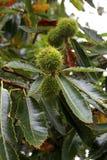 Zoete kastanjes op een kastanjeboom royalty-vrije stock afbeelding
