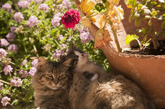 Zoete katten Royalty-vrije Stock Afbeelding
