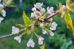 Zoete kersenbloemen op boom Royalty-vrije Stock Foto's
