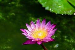 Zoete kleurrijke purpere lotusbloembloem stock afbeeldingen